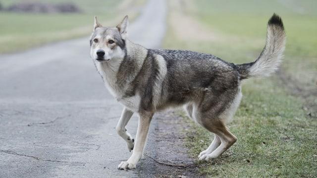 Saarlooswolfhund steht auf der Strasse.