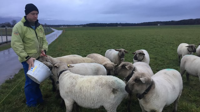 Bauer füttert Schafe aus einem Kessel.