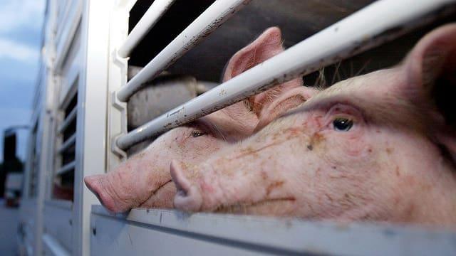 Schweine blicken aus einem Tiertransporter.