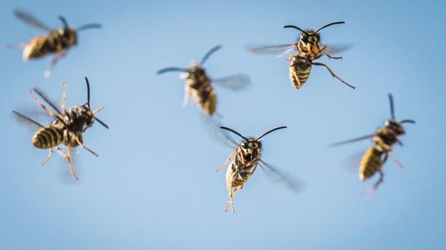 Mehrere Wespen fliegen
