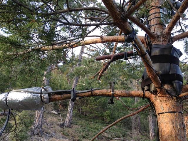Eine Föhre, an der verschiedene Kabel und eine Silberfolie angebracht sind.