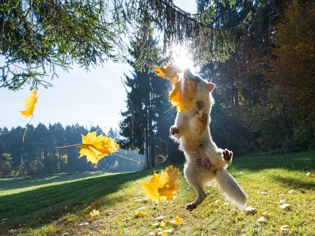 Ein Hund springt mit Blättern zusammen in die Luft.