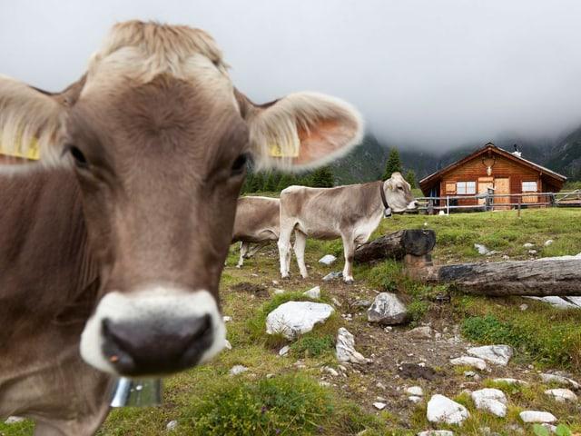 Eine gehörnte Kuh leckt sich wohlig über den Rücken.