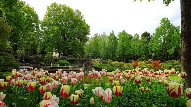 Farbige Tulpen im Rosengarten in Bern