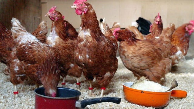 Hühner picken aus zwei Futtertöpfen