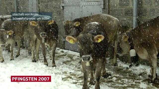 Kühe stehen im Neuschnee, es schneit nass.