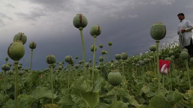Ein Opiumfeld in Afghanistan, mitten drin ein Landwirt.