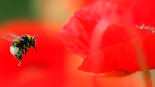 Eine Hummel fliegt zu einer Mohnblume.