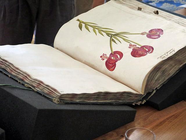 Das Herbarium-Original aufgeschlagen bei einer Blume mit roten Blüten.