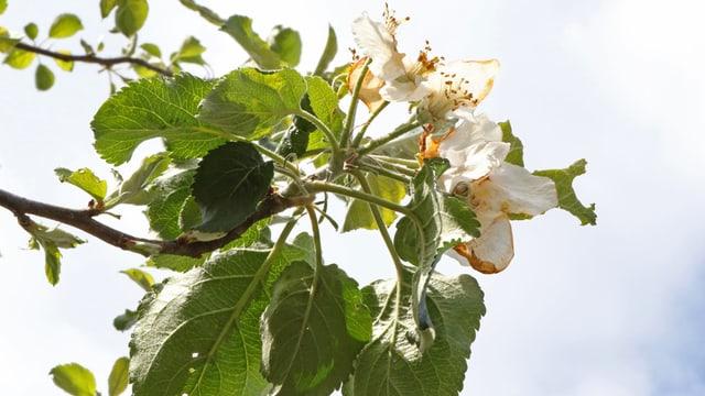 Verwelkte Blüte eines Apfelbaumes.