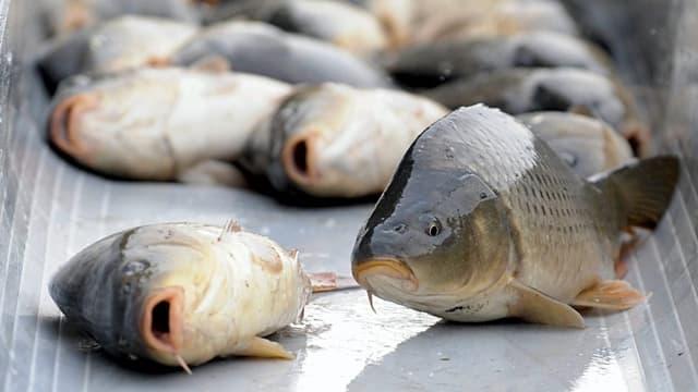 Einige tote Fische liegen in einem Becken.