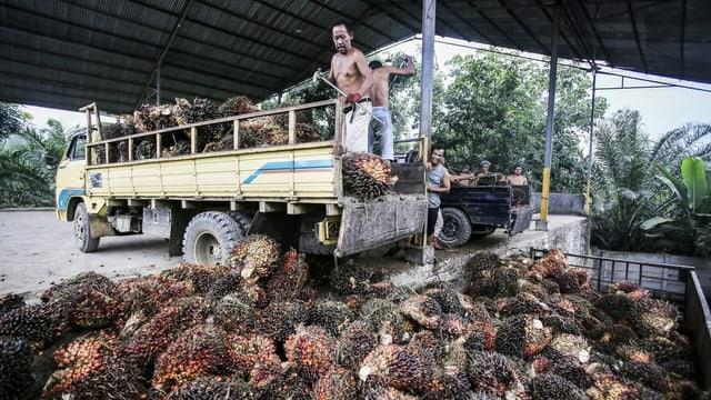 Indonesische Arbeiter entladen Palmfrüchte von einem Lastwagen