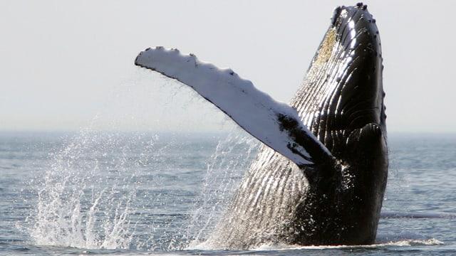Ein Buckelwal, der aus dem Wasser ragt.