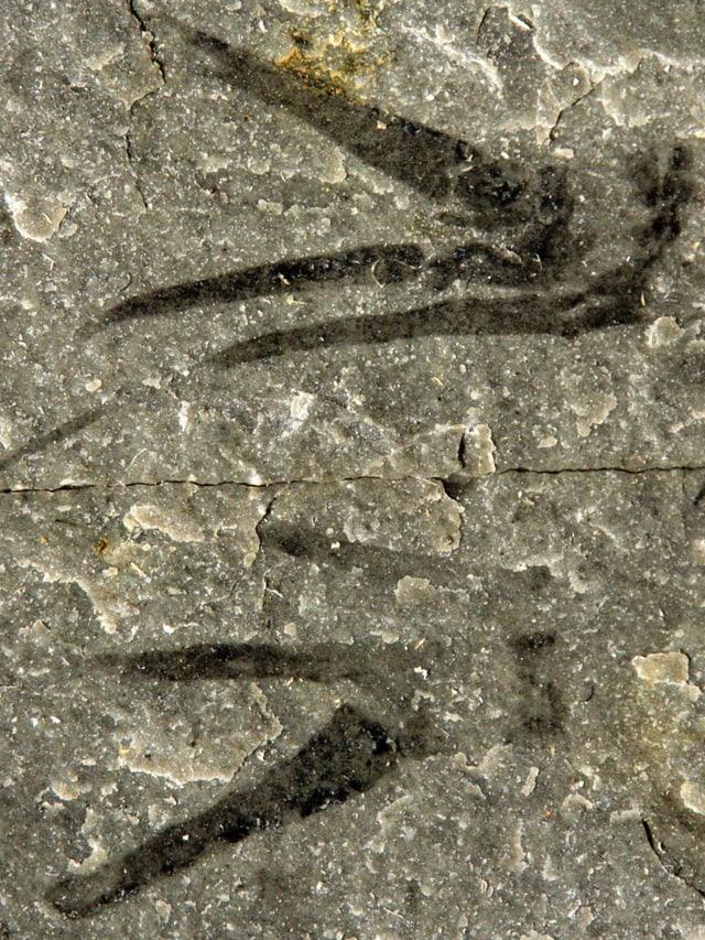 Die fossilisierten Überreste des Tieres mit den seltsam geformten Vordergliedmassen.