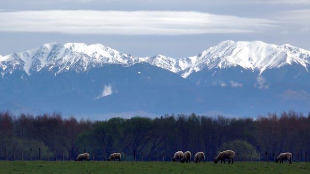 Schafe weiden auf einer Wiese. Im Hintergrund verschneite Berge.