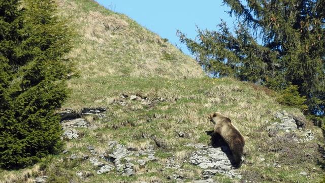 Maletg simbolic: L'urs obersvà ad Eriz en il chantun da Berna.