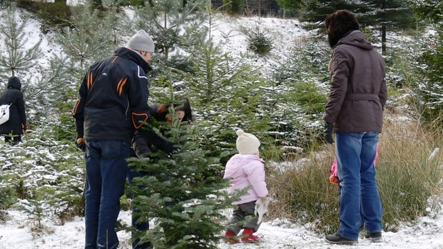 Weihnachtsbaum Selber Schneiden.Zürich Schaffhausen Weihnachtsbaum Zum Selber Schneiden Bei