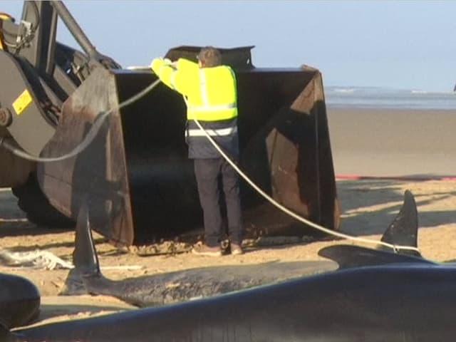 Helfer befestigen ein Seil an einem Bulldozer, davor gestrandete Grindwale.