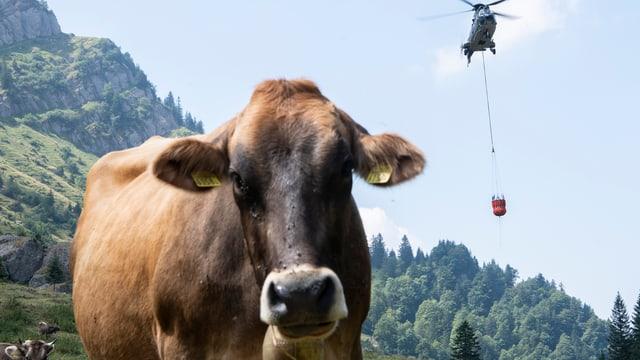 Kuh schaut in die Kamera. Dahinter nahender Helikopter.