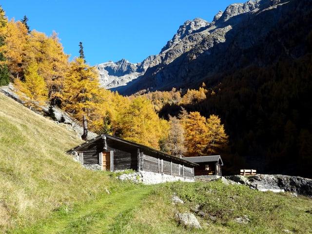 Eine Alphütte am Fusse eines goldenen Lärchenwaldes. Der Himmel darüber stahlblau.