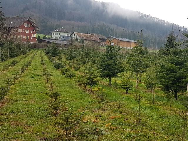 Verschieden grosse Christbäume auf Plantage