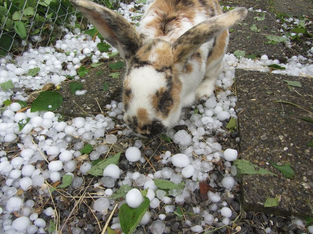 Kaninchen und Hagel in Thun.