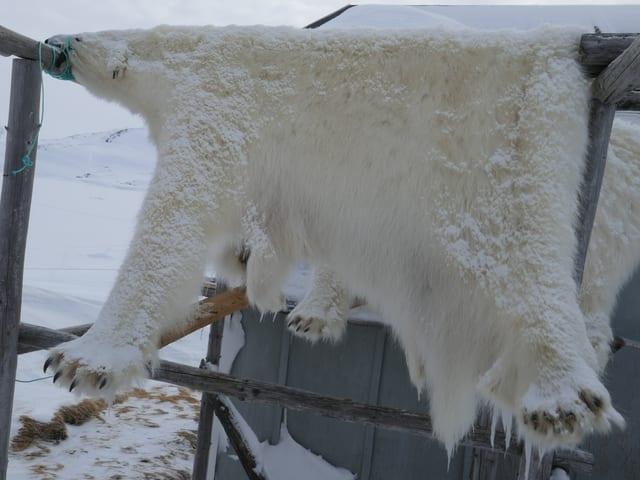 Ein aufgehängtes Eisbärfell.