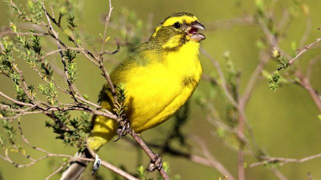 Ein Kanarienvogel sitzt auf einem kleinen Ast - er ist gelb mit schwarzen Flecken.