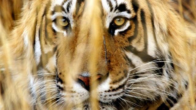 Ein indischer Tiger im Ranthambhore National Park. (reuters)