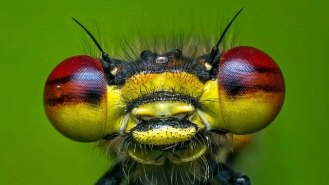 Nahaufnahme von einer Libelle mit rot-gelben Augen und einem gelb-schwarzen Körper.