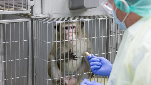 Affe in einem Käfig, ein Wissenschaftler in Schutzanzug gibt ihm eine Erdnuss.