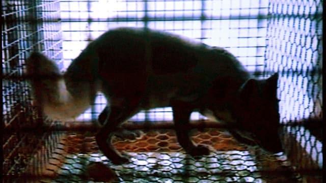 Aufnahmen eines Fuchses in einer Pelztierfarm in Norwegen vom Mai 2003.