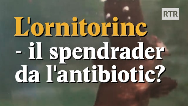 Laschar ir video «Lornitorinc - il spendrader da lantibiotic?»