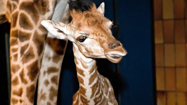 Die Giraffe Marius.