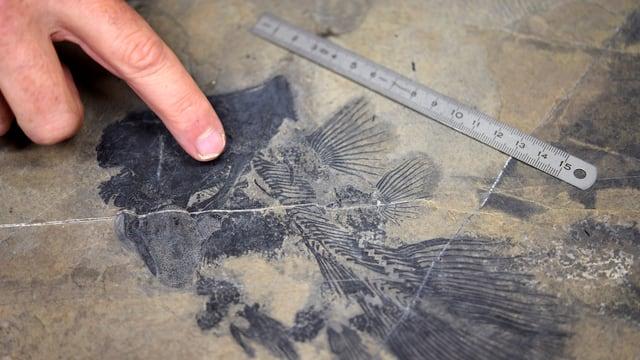 Il fossil dal Ducan.