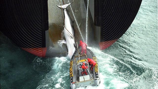Ein toter Zwergwahl wird in den riesigen Bauch des Walfangschiffs gezogen.