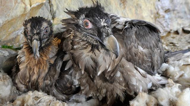 Zwei Bartgeier in einem Nest.