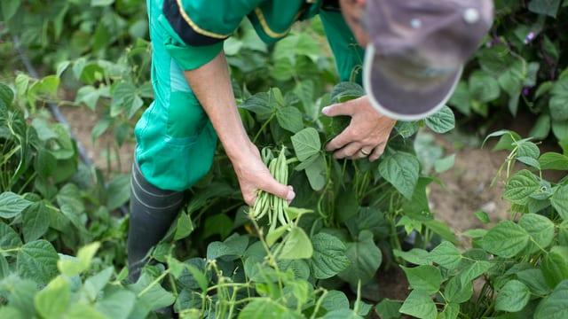 Ein Mann pflückt Bohnen in einem Gemüsefeld.