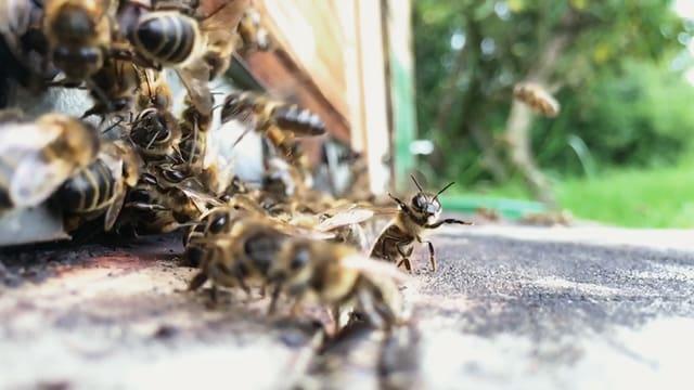 Video «NETZ NATUR «Die Frage der Bienen» (Schweizerdeutsch)» abspielen
