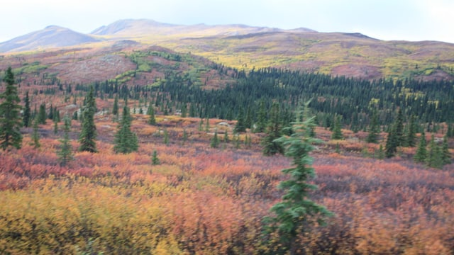 Farbige Vegetation am Denali Nationalpark.