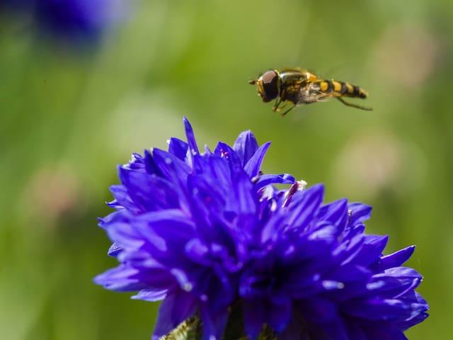 Eine Schwebefliege schwebt über einer blauen Blüte.