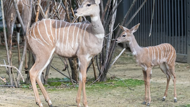 Zwei Kudus in der Aussenanlage des Zoo Basel.