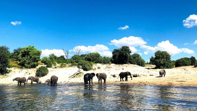 Eine Gruppe Elefanten steht an einem Fluss in Botswana. Darüber liegt ein stahlblauer Himmel.