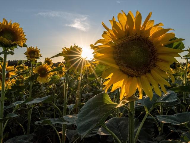 Sonneblumen bei Sonnenaufgang