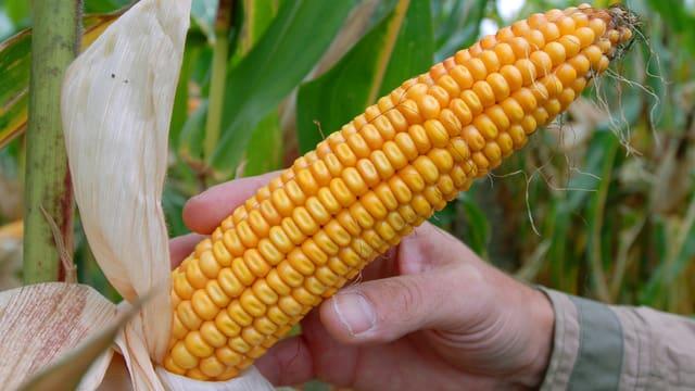 Genmais von Monsanto.