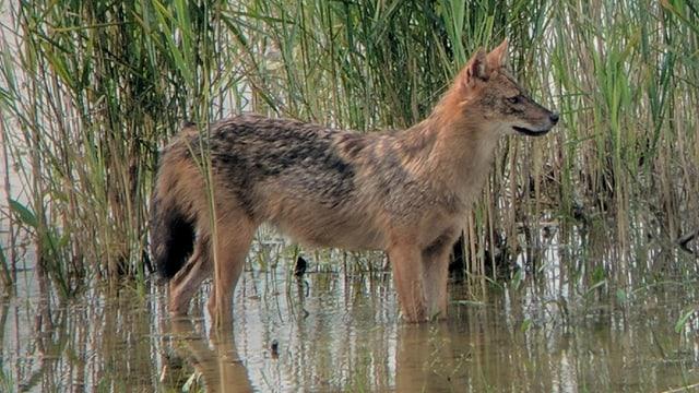 Das Tier steht in seichtem Gewässer im Schilf.