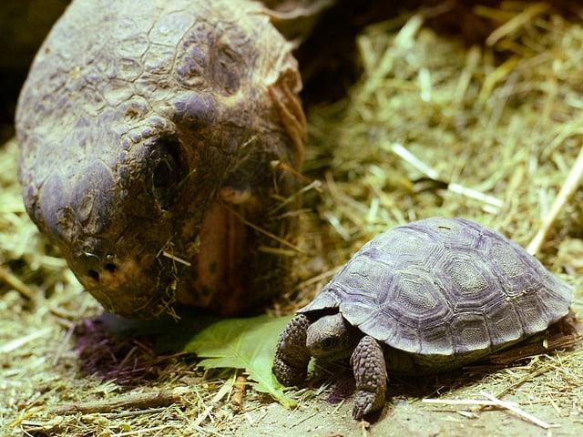 Riesenschildkröte mit ihrem Jungen im Zoo Zürich