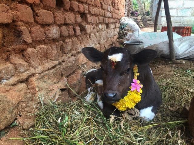 Eine geschmückte Kuh
