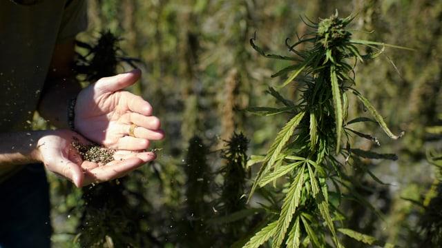 Plantinas da cannabis sin in prà en Svizra.