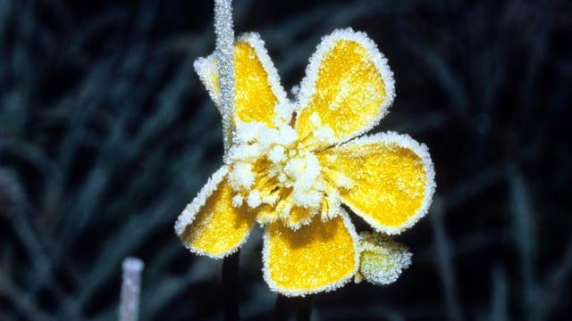 Gelbe Blume mit Eispelz an den Blüten.